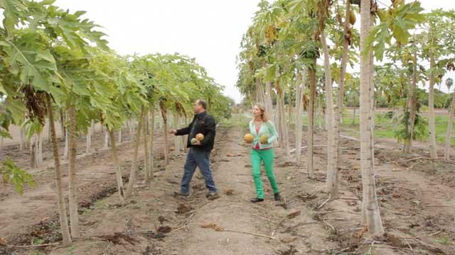 SouthTex Organics Papaya Grove