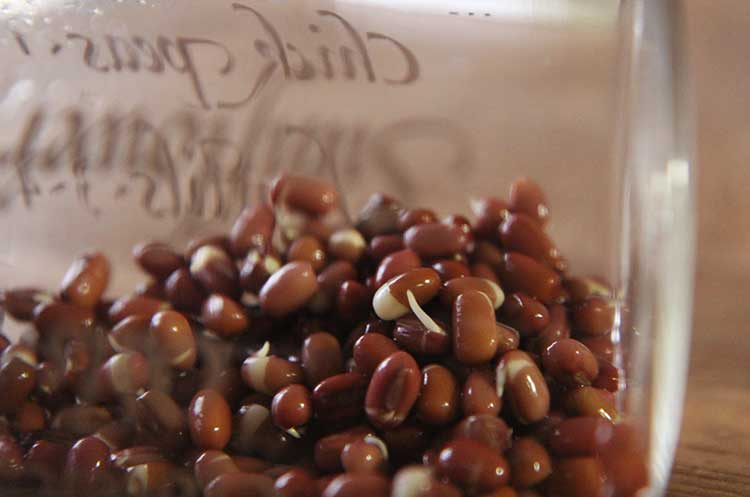 Beans take much longer to sprout than small seeds. After 3 days, the adzuki beans begin to sprout.